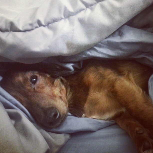dachshund in bed