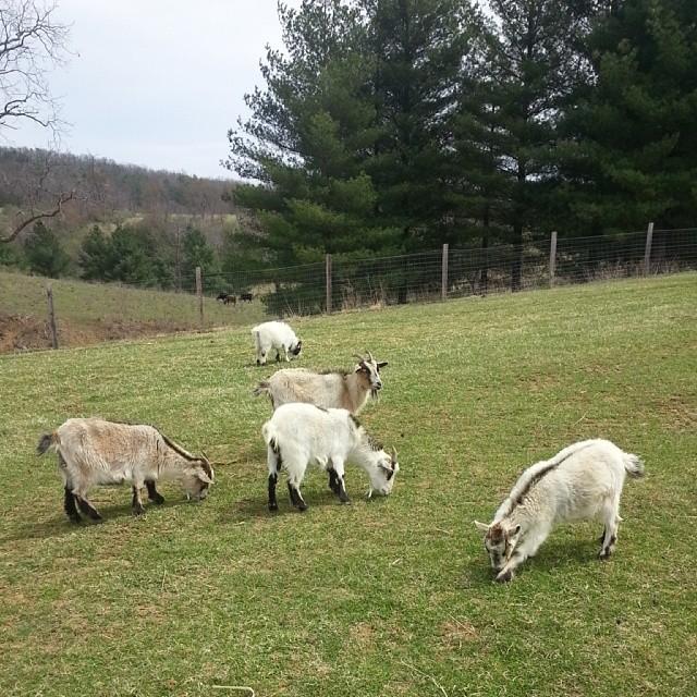 virgina goats